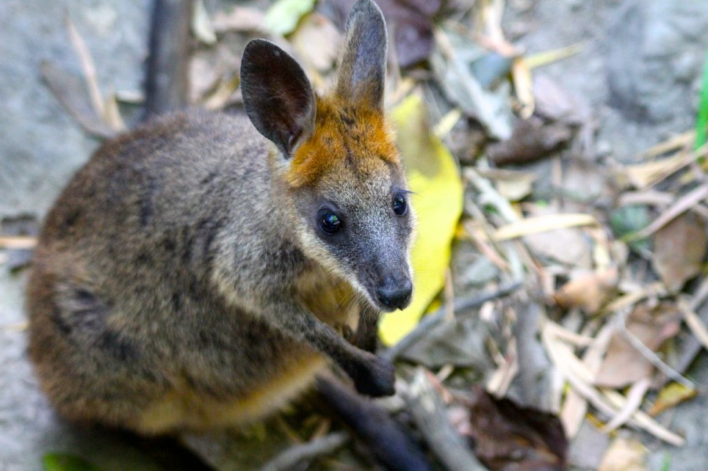 Wallaby, The Wildlife Habitat, Port Douglas, Australia.