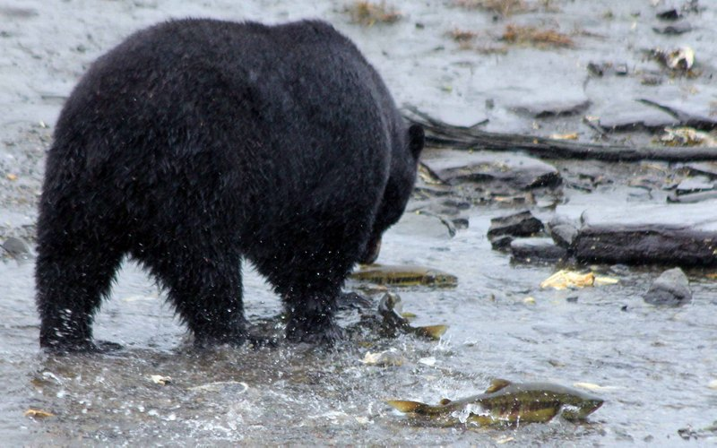 Catch of the day! Fresh Salmon & Bears! Canada.