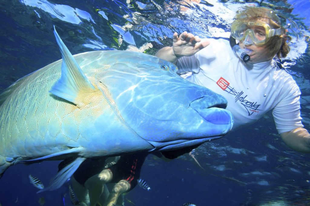 Snorkelling with a A very friendly Grouper at The Great Barrier Reef, Queensland Australia