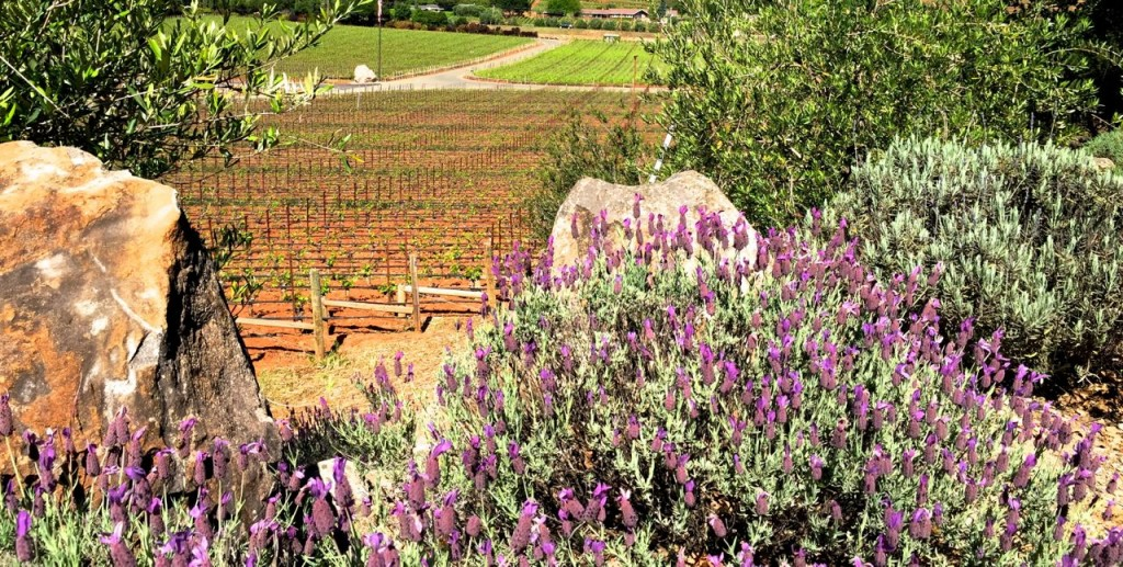 Lavender and vines, Napa Valley, Califoria, USA.